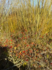 Rose hips and willow in the winter sunshine
